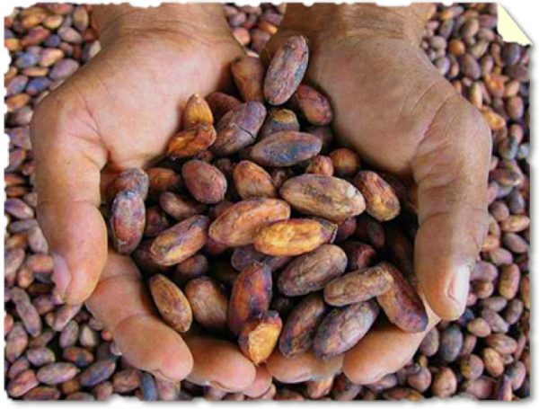 The Humble Cacao Bean of PNG - Paga Hill Estate
